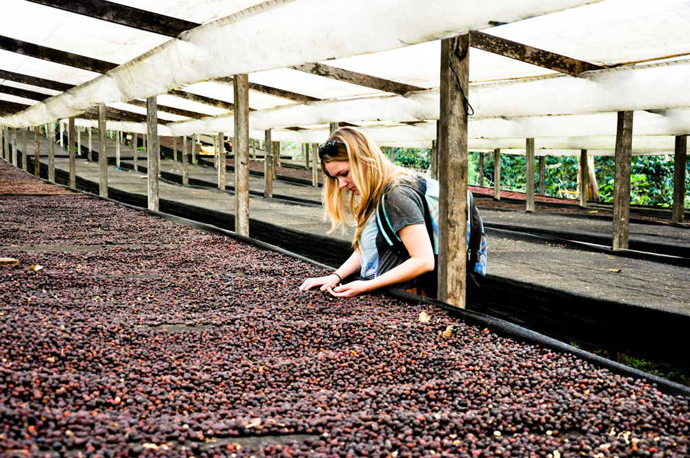 De koffiebessen worden na het plukken in de zon op grote netten ook wel african raised beds - Bed na capitonne zwarte ...